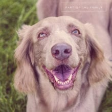 Head shot of a long haired weimaraner