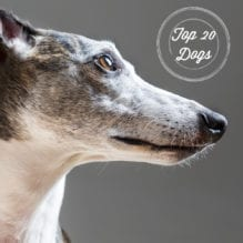 Dog Portrait Whippet
